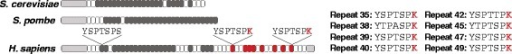 The human RNA polymerase II subunit 1 (RPB1) C-terminal domain (CTD) contains more heptad repeats than the yeasts, and eight of its non-consensus distal repeats have a lysine residue. In this schematic of the RPB1 CTD for two species of yeast and human, consensus heptad repeats (YSPTSPS) are colored dark gray; repeats with a lysine at position 7 are colored red; and all other non-consensus repeats are in white.