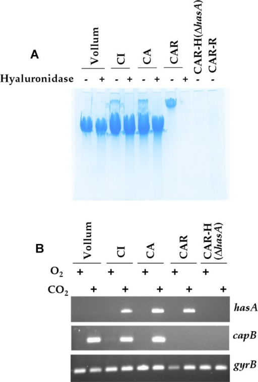 Coexpression of a PDGA and a HA capsule by the B. cereus bv anthracis strains.(A) Alcian Blue staining was performed on filtrates of colony lysates from various strains grown in CO2/bicarbonate conditions: these were the Vollum strain (wild-type B. anthracis), the B. cereus bv anthracis CI and CA strains, and the CA-derived strains devoid of pBCXO2 (CAR) and further deleted in the hasA gene (CAR-H) or having lost pBCXO1 (CAR-R); hyaluronidase treatment was performed before PAGE, as described in the Materials and Methods section. (B) mRNA of the hasA gene (involved in synthesis of the HA capsule) and the capB gene (involved in synthesis of the PDGA capsule) was assessed in the strains described in (A) grown under CO2/bicarbonate (CO2) or aerobic (O2) culture conditions as described in the Materials and Methods section; gyrB gene expression was used as reference.