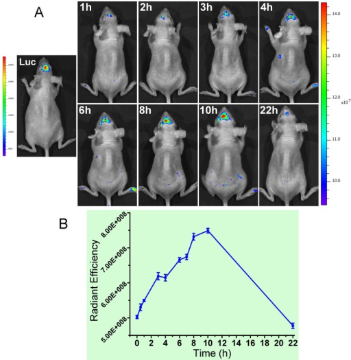 (A) The orthotopic glioma imaging with the T7-functionalized nanoprobe at various time points. (B) The radiant efficiency (fluorescence intensity).