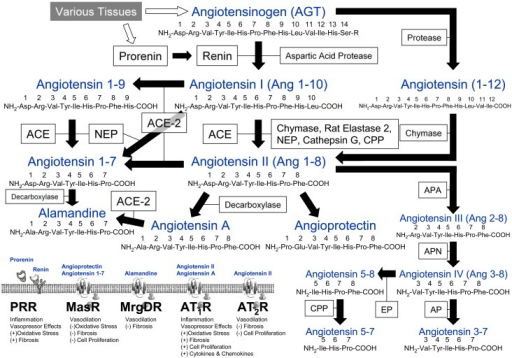 Schematic Representation of the Renin-Angiotensin System.Angiotensin-I converting enzyme, ACE; angiotensin I converting enzyme 2, ACE-2; angiotensin II 1 receptor, AT1R; angiotensin II 2 receptor, AT2R; aminopeptidase, AP; aminopeptidase A, APA; aminopeptidase N, APN; carboxypeptidase, CPP; endopeptidase, EP; Mas receptor, MasR; Mas-related gene type D receptor, MrgDR; neprilysin, NEP; (pre)prorenin receptor, PRR.