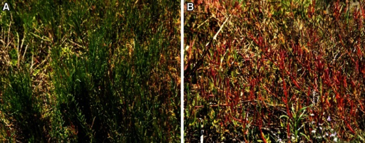 aSalicornia in spring and summer is green and fit for consumption, bSalicornia in autumn is red and purple, with high salt concentration, is not suitable for food purpose