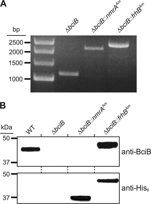 Construction of Synechocystis strains designed to express putative A. marina 8VR-encoding genes. (A) Isolation of fully segregated Synechocystis ΔbciB strains containing genes from A. marina, confirmed by colony PCR amplifying the psbAII locus. (B) Expression of recombinant proteins was confirmed by resolving membrane fractions from the described strains by SDS-PAGE, transferring to a membrane, and probing with anti-BciB and anti-His6 antibodies.