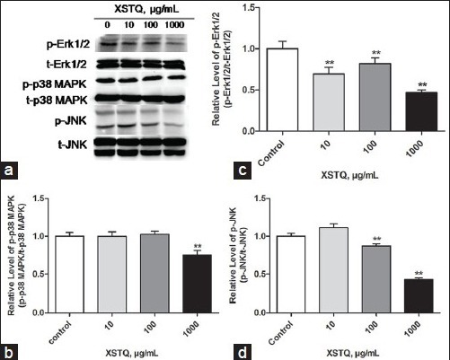Xingshentongqiao decoction (XSTQ) mediates dose-dependent downregulation of the phosphorylation of extracellular signal-regulated kinase (Erk1/2), p38 mitogen-activated protein kinase (MAPK) and c-Jun N-terminal kinase (JNK). (a) SH-SY5Y cells were incubated with XSTQ (0, 10, 100 or 1000 μg/ml) for 2 hours, and levels of phosphorylated Erk1/2, p38 MAPK and JNK were determined relative to total Erk1/2, p38 MAPK and JNK levels by western blotting analysis. (b-d) Levels of phosphorylated proteins were normalized to levels of total protein by densitometry. Data represent the mean ± standard deviation of three independent experiments and are standardized to 1.0 in the control (untreated) cells (**P < 0.01 vs. untreated control).