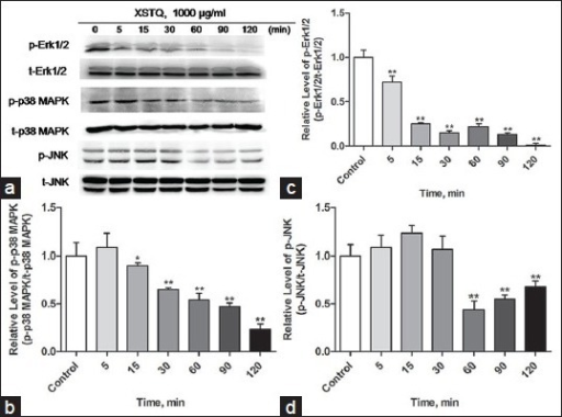 Xingshentongqiao decoction (XSTQ) mediates time-dependent downregulation of the phosphorylation of extracellular signal-regulated kinase (Erk1/2), p38 mitogen-activated protein kinase (MAPK) and c-Jun N-terminal kinase (JNK). (a) SH-SY5Y cells were incubated with 1000 μg/ml XSTQ for 0, 5, 15, 30, 60, 90, or 120 minutes, and levels of phosphorylated Erk1/2, p38 MAPK and JNK were determined relative to total Erk1/2, p38 MAPK and JNK by western blotting. (b-d) Levels of phosphorylated proteins were normalized to levels of total protein by densitometry. Data represent the mean ± standard deviation of three independent experiments and are standardized to 1.0 at time 0 (**P < 0.01, *P < 0.05, vs. untreated control).