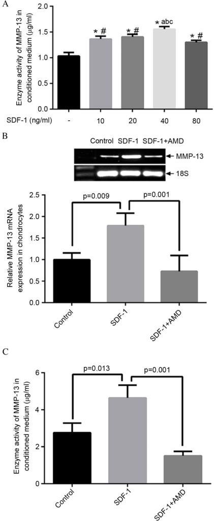 SDF-1/CXCR4 signaling pathway regulates MMP-13 expression and activity. (A) SDF-1 induced MMP-13 activity in a dose-dependent manner. Cells were treated with SDF-1 in serial dosages of 10, 20, 40 and 80 ng/ml for two days and the conditioned media were collected for ELISA analysis. The increasing SDF-1 effect reached its highest point at the dosage of 40 ng/ml. *P<0.05 vs. control; #P<0.05 vs. cells treated with 40 ng/ml SDF-1; aP<0.05 vs. cells treated with 10 ng/ml SDF-1; bP<0.05 vs. cells treated with 20 ng/ml SDF-1; cP<0.05 vs. cells treated with 80 ng/ml SDF-1. (B) Reverse transcription-quantitative polymerase chain reaction analysis of MMP-13 expression in osteoarthritis chondrocytes treated with SDF-1. SDF-1 significantly increased MMP-13 mRNA expression level in cells (P=0.009), which was significantly reduced by blocking the SDF-1 pathway with AMD 3100 (P=0.001). (C) ELISA analysis of enzyme activity of MMP-13 within conditioned media. SDF-1 significantly increased the activity of MMP-13 (P=0.013), while a significant suppression of MMP-13 activity was observed by blocking the SDF-1 pathway with AMD 3100 (P=0.001). SDF-1, stromal cell-derived factor-1; CXCR4, C-X-C chemokine receptor type 4; MMP-13, matrix metalloproteinase 13.