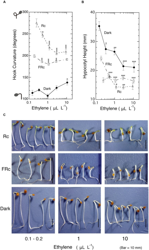 Effects of ambient ethylene on apical hook curvature of dark-grown seedlings of tomato under Rc, FRc or in the dark. After grown from seeds in the cap-loose mode in the dark for 5 days, seedlings were shifted to the cap-tight mode and exposed to various concentrations of ethylene and continuous R (Rc), FR (FRc) or kept in the dark for 50–56 h until the end of experiment, where final concentrations of ethylene for plotting data in (A) and (B), hook curvature (A) and hypocotyl height (B) were determined, and the representative seedlings were photographed (C). Supplemented ethylene concentrations: , 0.3, 1.0, 3.0, and 10 μL L-1; Rc: RFL, 17 μmol m-2 s-1; FRc: FRFL, 14 μmol m-2 s-1. Data points: mean ± SE (n = 19–51) for hook angle and hypocotyl height. Statistical significance, respectively, at ∗P < 0.01, ∗∗P < 0.005, ∗∗∗P < 0.0001 as compared with the values at the lowest ethylene concentration ( supplemented ethylene) within each light condition. cv. Ponte-Rosa.