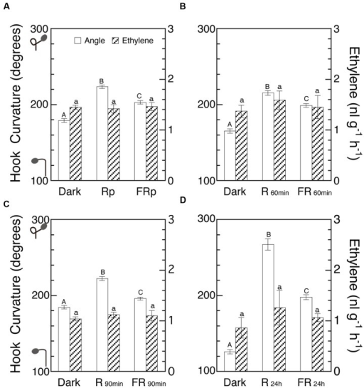 Effects of various periods of R and FR on hook curvature and emission rate of endogenous ethylene. After grown in the dark, cap-loose mode for 5 days, seedlings were shifted to the cap-tight mode, immediately irradiated with various periods of R or FR, and then grown in the dark for 48 h in total after the shift of mode until ethylene emission rate and hook angle were determined. Irradiation: (A) Rp, 10 s; FRp, 20 s; (B) 60 min each; (C) 90 min each; (D) 24 h each. Non-irradiated controls were similarly cultured for the same period in the dark throughout. (A)–(D) are of different runs of experiment. Rp: RLED, 193 μmol m-2 s-1; FRp: FRLED, 465 μmol m-2 s-1; R60 min and R90 min: RFL, 33.8 μmol m-2 s-1; FR60 min and FR90 min: FRFL, 21.9 μmol m-2 s-1; R24 h: RFL, 49.9 μmol m-2 s-1; FR24 h: FRFL, 23.5 μmol m-2 s-1. Histogram bars: mean ± SE (n = 40–77) for hook angle, and mean ± SD (n = 4–7) for ethylene emission rate. Different letters of A, B, and C on the top of bars for hook angles show statistically significant differences at P < 0.05 within each Figure. All bars for ethylene emission rate have only a, showing no significant difference. cv. Seiko No.17 for (A) and (C); Sekaiichi, (B); Ponte-Rosa, (D).