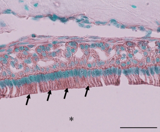 Expression of eNOS mRNA in the mouse lower incisor at 8 weeks of age by in situ hybridization. eNOS signals are detected in ameloblasts (arrow) at the maturation stage (asterisk: enamel). Bar, 50 μm.