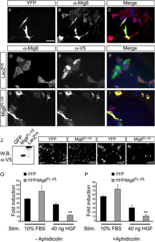 Mig6 overexpression inhibits HGF-mediated cell migration. (A–C) MLP29 cells were transfected with a mixture of YFP and Mig6FL-V5 expression plasmids in a ratio of 1:5. 24 h later, cells were starved in 0.1% FBS for an additional 24 h, harvested, and seeded onto coverslips for immunocytochemical analysis. Cells were fixed and Mig6 overexpression was detected using a Mig6-specific antibody (B). YFP-expressing cells (A) are strongly positive for Mig6 (C). Bar, 50 μm. (D–I) MLP29 cells were transfected with Mig6FL-V5 or LacZV5 expression plasmids and stained with anti-Mig6 and anti-V5 antibodies as above. LacZV5 transfected cells were weakly positive for (endogenous) Mig6 and strongly positive for the V5 epitope (D–F). Mig6FL-V5 transfected cells showed strong costaining for Mig6 and V5 (G–I) indicating efficient overexpression of Mig6. (J) Western blot (W.B.) using V5 antibodies to detect Mig6FL-V5 or LacZV5 expression. (K–N) Photographs of Hoechst dye–labeled cells after migration through the Boyden chamber membrane. Cells were transfected with the indicated expression plasmids as described above, and a portion was seeded onto the upper face of the membrane. Cells were exposed to 10% FBS (K and L) or 40 ng/ml HGF (M and N). Reduced migration due to Mig6 overexpression was observed in the YFP-positive (see quantification below) and in the total Hoechst dye–positive cell population (compare M with N). Bar, 100 μm. Quantification of migration of YFP-expressing cells indicated as fold of induction over unstimulated cells, in the absence (O) or presence (P) of the DNA polymerase inhibitor, aphidicolin. Mig6 overexpression reduced HGF-stimulated cell migration by approximately threefold in the absence (O; P < 0.001, t test) or presence of aphidicolin (P; P < 0.001, t test). In contrast, cell migration stimulated (Stim.) with 10% FBS in the absence or presence of aphidicolin was unaffected by Mig6 overexpression (P = 0.45 and P = 0.121, respectively; t test).