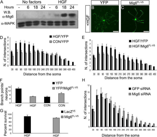 Mig6 inhibits HGF-induced neurite outgrowth and branching of sympathetic neurons. (A) Western blotting (W.B.) using an α-Mig6 antibody showing the time course of endogenous Mig6 protein induction upon HGF stimulation in postnatal day 40 (P40) superior cervical ganglion (SCG) neurons (top panel). The α-MAPK antibody was used as internal control. Representative P40 SCG neurons transfected with YFP (B) or with a mixture of YFP plus Mig6FL-V5 expression plasmids (C). Cells were grown in medium supplemented with 10 ng/ml HGF for 48 h. Note the significant reduction in neurite complexity of the Mig6FL-V5-expressing cell compared with YFP control. (D) Sholl analysis (see Materials and methods) of P40 SCG neurons transfected with YFP alone and exposed for 48 h to control media (CON/YFP) or 10 ng/ml HGF (HGF/YFP). (E) Sholl analysis of P40 SCG neurons stimulated with 10 ng/ml HGF after being transfected with YFP (black bars) or YFP plus Mig6FL-V5 (gray bars). Mig6FL-V5 expression was able to block HGF-induced neurite outgrowth completely (compare panels D and E, gray bars). (F) Numbers of neurite branch points per neuron in different experimental conditions. P40 SCG neurons were treated as described above, and the numbers of branch points per neuron were counted in the presence (HGF) or absence (CON) of 10 ng/ml HGF. (G) Percentage of surviving P40 SCG neurons in different experimental conditions. After 48 h of HGF exposure, the neurons were transfected with the control LACZV5 or the Mig6FL-V5 expression plasmids. Upon stimulation with HGF, the expression of Mig6FL-V5 did not affect P40 SCG neuron survival. (H) Sholl analysis of P40 SCG neurons transfected with Mig6-specific or GFP-specific siRNA oligonucleotides together with an expression plasmid encoding YFP in the presence of 10 ng/ml HGF. Endogenous Mig6 knock-down by siRNA induced a modest increase in neurite branching. Distances in D, E, and H measured in μm.