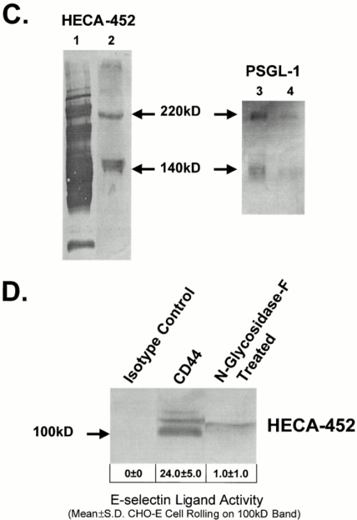 HECA-452–reactive CD44 functions as an E-selectin ligand. (A) KG1a membrane protein (10 μg) was resolved on a reducing 6% SDS-PAGE gel, blotted onto PVDF membrane, stained with HECA-452, and HECA-452 immunoblots blots were rendered transparent with 10% glycerol. CHO-E cells (2 × 106/ml) were then perfused over these blots at a defined shear stress of 3.8 dynes/cm2. Several HECA-452–stained bands from KG1a membrane protein–supported, E-selectin–dependent CHO-E cell rolling. (B) KG1a membrane proteins (10 μg) were treated with N-glycosidase F, separated on a reducing 6% SDS-PAGE gel, and immunostained with HECA-452. (C) Immunoprecipitated PSGL-1 was resolved on a reducing 6% SDS-PAGE gel and Western blotted with either HECA-452 (left) or anti–PSGL-1 antibody 4H10 (right). (lane 1) 10 μg of total KG1a membrane protein; (lane 2) immunoprecipitated PSGL-1 from 100 μg of KG1a membrane protein; (lane 3) 100 μg of total KG1a membrane protein, and (lane 4) immunoprecipitated PSGL-1, from 100 μg of KG1a membrane protein. Note that HECA-452–stained bands at 140 and 220 kD correspond to PSGL-1. (D) Isotype control or Hermes-1 immunoprecipitated CD44 from KG1a membrane protein (50 μg) was resolved on a reducing 9% SDS-PAGE gel and immunoblotted with HECA-452. Immunoprecipitated CD44 from KG1a membrane proteins (50 μg) treated with N-glycosidase F was also immunoblotted with HECA-452. Though CHO-E cell rolling frequencies are presented as the mean ± SD of E-selectin–mediated cell rolling at 3.8 dynes/cm2 measured on the 100-kD isoform of CD44, no CHO-E rolling was observed along the entire length of the N-glycosidase F–treated lane.