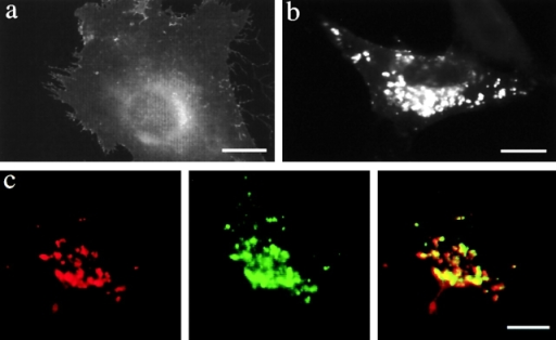 Expression of PLP in BHK cells affects the sorting of GPI–YFP. (a) BHK cells were transfected with GPI–YFP and, after 24 h, were fixed and analyzed by immunofluorescence. (b) Cells were transfected with GPI–YFP, incubated for 24 h in the presence of 10 μg/ml U18666A, fixed, and analyzed by immunofluorescence. (c) BHK cells were cotransfected with PLP and GPI–YFP and analyzed after 24 h by immunofluorescence for PLP (red) and GPI–YFP (green). In the merged image, yellow indicates colocalization of PLP and GPI–YFP. Bars, 10 μm.