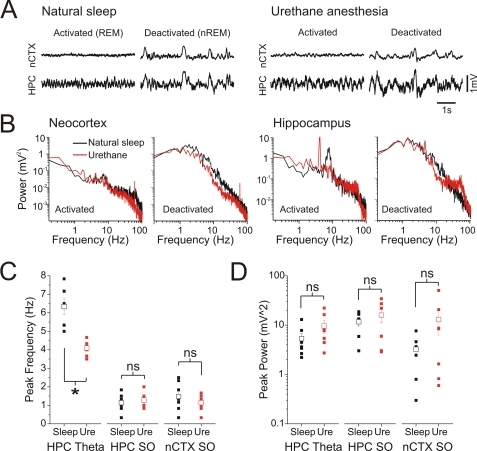 Raw and spectral characteristics of forebrain EEG during activated and deactivated states were similar across during natural sleep and urethane anaesthesia.A) Expanded neocortical and hippocampal EEG traces across natural sleep and urethane anaesthesia in the same animal showing examples of activated and deactivated patterns in both situations. Regardless of condition, activated and deactivated patterns were highly similar. B) Spectra of cortical and hippocampal EEG traces overlaid across conditions for the same electrographic patterns. Although the peak frequency of hippocampal theta power during REM was at a higher frequency (∼7 Hz) than during the activated state under urethane anaesthesia (∼4 Hz), all other spectra across conditions appear highly similar. Scatter plot of C) peak frequencies and D) power (right panel) for neocortical and hippocampal signals during the activated and deactivated state for each animal. Except for the peak frequency of hippocampal signals during activated patterns, there were no significant differences across natural sleep and urethane anaesthesia.