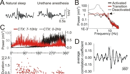 Transition phase between activated and deactivated patterns was characterized by cortical spindling across both natural sleep and urethane anaesthesia.A) An expanded example of a cortical spindle oscillation recorded during natural sleep (left) and a similar pattern recorded at the same electrode during the transition phase under urethane anaesthesia (right). B) Superimposed spectral plots of cortical EEG taken during activated, transition and deactivated states in a urethane-anaesthetized animal. Note the spectral peak in the transition spectra centered at ∼8 Hz (spindle frequency). C) Superimposed spectrographic power at low (0 to 2 Hz: black) and spindle (7 to 10 Hz: red) frequencies (top panel), and the simultaneous occurrence and duration of spindles across the evolution of all state alternations for one full experiment (bottom panel). Note the augmented presence of spindling activity at the transition points between activated and deactivated patterns. D) Average (across all experiments) of the cross correlation function between 1 Hz and spindle (7–9 Hz) spectrographic power (n = 5; standardized cycle in degrees). The temporal relationship of spindling to slow oscillatory activity at 1 Hz patterns showed a consistent lag of approximately half a period length (∼180 degrees).