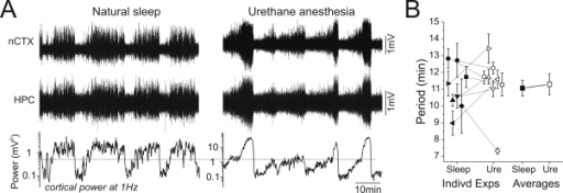 The timing of cyclic EEG state alternations was highly similar across naturally sleeping and urethane-anaesthetized conditions.A) Long-duration EEG traces during a continuous natural sleep episode (left panel) and subsequently from the same animal under urethane anaesthesia (right panel). Regular fluctuations between REM and nREM sleep stages were highly comparable in their timing to the state alternations later observed under urethane. Plotted on the same time scale underneath the raw traces is the respective spectrographic power at 1 Hz extracted from the cortical signals. These fluctuations demonstrated a similar rhythmicity across both conditions. B) Scatterplot representing period lengths of alternations for all animals under both naturally sleeping and urethane anaesthetized conditions. There was a remarkable similarity in the distribution and average length of alternations for each animal as well as for the overall average for natural sleeping and urethane anaesthetized conditions.