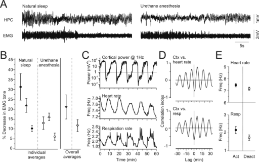 Physiological correlates of EEG state changes were similar across naturally sleeping and urethane-anaesthetized conditions.A) Simultaneous recordings of hippocampal field activity and neck EMG in naturally sleeping (left panel) and urethane anaesthetized (right panel) conditions in the same animal. Declines in EMG tone with transitions from nREM to REM sleep were also apparent under urethane anaesthesia with transitions from deactivated to activated EEG patterns. B) The average percentage loss of EMG amplitude across these transitions was consistent and significantly different across both natural sleep and urethane anaesthesia in the same animals. C) Simultaneous extraction of cortical spectrographic power at 1 Hz (top panel), heart rate (middle panel) and respiration rate (lower panel) demonstrating concomitant fluctuations. Increases in both heart and respiration rates appeared during the lowest EEG power readings (i.e. the activated state). As well, during the activated state, the peak frequency of respiratory cycle tended to show greater variation. D) Fluctuations in heart (top) and respiration rates (bottom) were rhythmically correlated with state changes as shown in the cross correlation of these variables to cortical power at 1 Hz. E) Summary data across experiments showing significant increases in both heart (top) and respiration rates (bottom) when comparing the activated to the deactivated state.