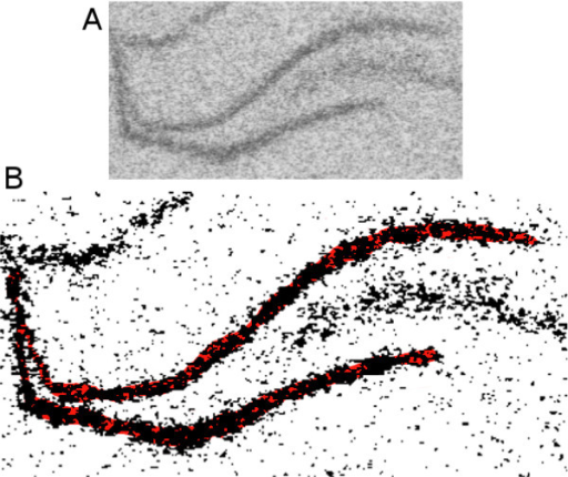 Thresholding floor-effect. The dentate gyrus (A) was thresholded and the selected pixels are displayed in black (B). There are pixels that are a part of the DG (indicated in red) that should be included in the calculation of the mean GL, but have fallen below the threshold level and are therefore excluded. This biases the GL value upward, and creates a floor-effect, where no pixels below the threshold are included in the calculation of the mean GL.