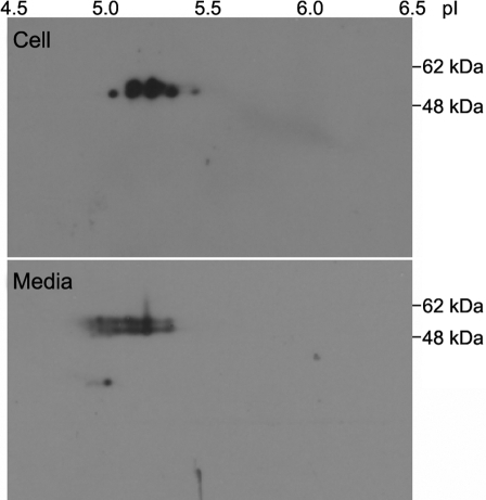 Two dimensional analysis of myocilin expression. Myocilin isoforms in cell lysate (upper panel) and culture medium (lower panel) from HTM cells transduced with Ad-myocilin-FLAG were first separated by their isoelectric points and then resolved according to their molecular weights. Myocilin detection was performed by western blot analysis using anti-FLAG antibody. This experiment was performed two times, and representative gels are shown.