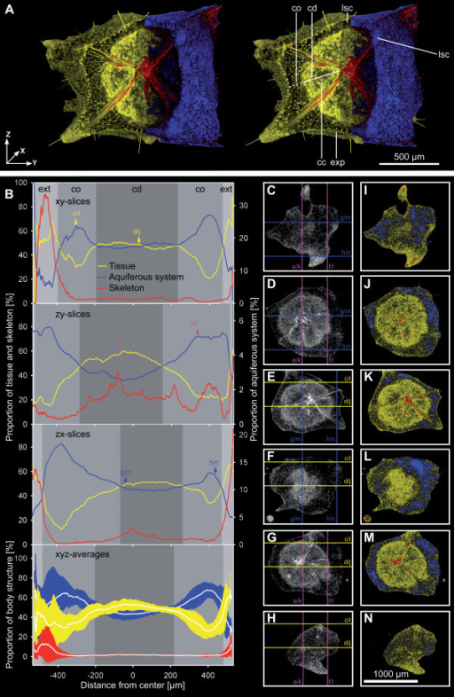 Detailed visualization and analysis of the overall morphology of a stage 4 T. wilhelma bud (data set E, see Additional file 2) based on SR μCT x-ray absorption and volumetric measurements. (A) Stereo pair rendering with segmentation of morphological structures: sponge tissue (yellow) separated into cortex (co) and choanoderm (cd) with developed choanocyte chambers (cc), exopinacoderm (exp), skeleton (red) and aquiferous system (blue) with lacunar system cavities (lsc). (B) Related volumetric measurements. Proportions [%] of sponge tissue, skeleton and aquiferous system measured on 1.4 μm slices. Proportional volume is given for all three spatial directions (x, y and z axes) and as xyz averages with standard deviations in relation to the sponge centre (x, y, z = 0,0,0 μm); arrows and lower case letters refer to C - N (slice images). Main body structures and body extensions (ext) are marked in grayscale. (C - N) examples of 1.4 μm slices in grayscale (left column) and colored x-ray absorption-based segmentation of morphological elements (right column). Two slices are presented per dataset direction: xy slices (C, D, I & J), zx slices (E, F, K & L), zy slices (G, H, M & N); lower case letters and lines in grayscale slice images mark the corresponding positions of the orthogonal planes shown as examples in C - N.