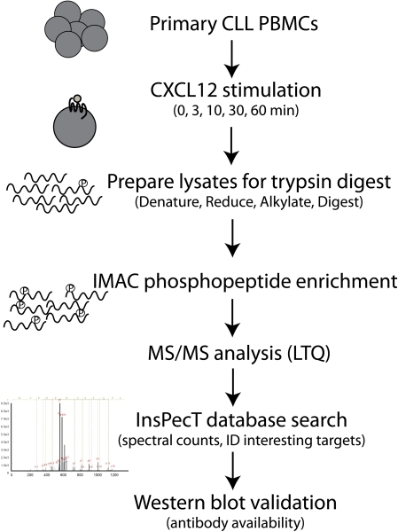 Flow Chart of CLL Phosphoproteomics Analysis.Lysates were prepared from primary CLL B cells that had been stimulated over an hour time course with 30 nM CXCL12. Lysates were denatured, reduced and alkylated in preparation for trypsin digest. Tryptic peptides were then enriched for phosphopeptides by IMAC and LC-MS/MS was performed. Data was analyzed using the InsPecT database search algorithm for phosphorylations on Ser, Thr, or Tyr. A decoy database and manual validation of the spectra were used as quality control. Spectral count comparisons were made as a qualitative assessment of CXCL12 stimulation response and interesting target proteins were selected for follow-up studies if antibodies were available.
