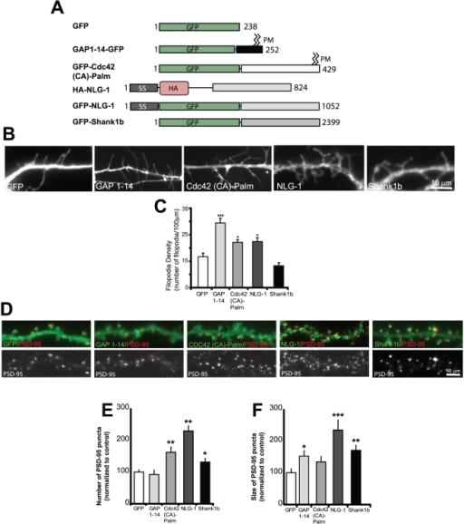 Specific synapse-inducing proteins are important for filopodia induction.(A) Schematic of the various fluorescently tagged constructs used in this study. SS-signal sequence, GFP-green fluorescent protein, HA- hemagglutinin (B) Representative images demonstrating filopodia induction by GAP 1–14, Cdc42 (CA)-Palm, NLG-1 and Shank1b. Neurons were transfected at DIV 6–7 and stained at DIV 8–9. (C) Quantification of the number of filopodia/100 µm shows that expression of GAP 1–14, Cdc42 (CA)-Palm and NLG-1 significantly increases filopodia number. In contrast, Shank1b failed to increase filopodia number. (D) Representative dendrites from neurons expressing GFP, GAP 1–14, Cdc42 (CA)-Palm, NLG-1 and Shank1b. (E) Quantification of the number of PSD-95 puncta expressed as a percentage that is normalized to control cells. Neurons expressing Cdc42 (CA)-Palm, NLG-1 and Shank1b showed an increase in the number of spines containing PSD95 puncta. In contrast, neurons expressing GAP 1–14 did not lead to an increase in the number of PSD-95 positive spines. (F) Quantification of PSD-95 puncta size. Neurons expressing NLG-1 and Shank1b showed an increase in the size of spines containing PSD95 puncta. In contrast, neurons expressing Cdc42 (CA)-Palm and GAP 1–14 showed no increase or a moderate increase in the size of PSD-95 puncta, respectively. 8–15 cells were analyzed for each group and were collected from 3 independent experiments. *p<0.05, **p<0.01, ***p<0.001. Data represent mean ±SEM. Scale bars, 10 µm.