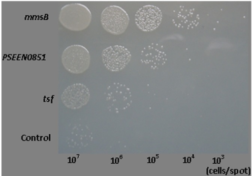 Colony formation of E. coli JM109 strains over-expressing mmsB, tsf, and PSEEN0851 on LBGMg agar overlaid with decalin after 24 h incubation at 37°C. JM109 carrying empty pQE-80L was used as the control.