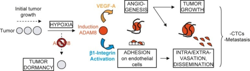 When solid tumors reach a few millimeters in diameter, hypoxic stress is induced, which leads to ADAM8 induction resulting in strong pro-angiogenic signaling, in part via VEGF-A release into the extracellular compartment, and endothelial cell recruitment. ADAM8 also promotes β1-integrin activation on tumor cells needed for their adhesion onto and transmigration through the blood vessel wall, which supports dissemination of CTCs and development of metastases. Importantly, here we demonstrate that if the induction of ADAM8 is blocked or its activity inhibited with antibody, there is an insufficient angiogenic response, leading to tumor mass dormancy or slowing of growth, as well as to a striking reduction of CTCs and metastases.