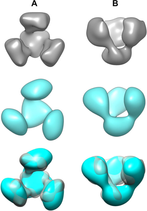 3D reconstruction of NL4-3 and NL4-3/ADA gp140 trimers. Density maps of NL4-3 gp140 trimer (grey) and NL4-3/ADA gp140 trimer (cyan) viewed along (A, top view) and perpendicularly to its threefold symmetry axis (B, side view). Both density maps show a trimeric propeller-like Env architecture with an open conformation. The three masses are only connected in the lower part. The bottom row depicts the superposition of the density maps. Note the high overall congruency; the subtle differences in the tilting of the upper masses and the rotation of the triangular lower mass are not significant at the present resolution of 25 Å.