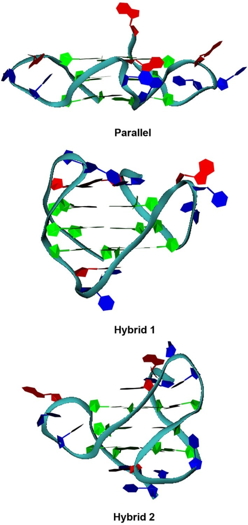 G-quadruplex folding topologies. Pictorial representations of the parallel, hybrid 1 and 2 folding topologies of human telomeric G-quadruplexes.