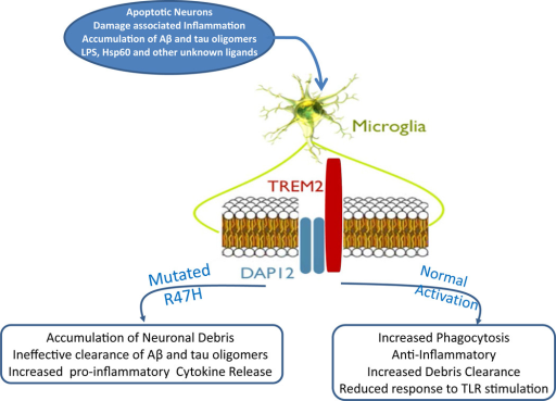 Normal and disease associated pathways of TREM2 activation.