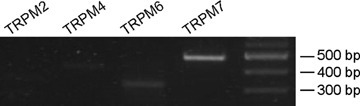 RT-PCR detection of TRPM channel members in porcine carotid arteries. The PCR amplification was performed by 35 cycles. A 100-bp molecular weight marker was used (right column). The size of each PCR product is as expected from the mouse and human sequences.