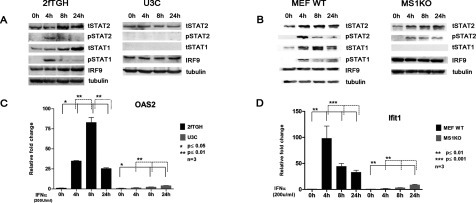 The IFNα response in STAT1 KO cells is abrogated(A, C) 2fTGH and U3C; (B, D) MEF WT and MS1KO were treated with IFNα for indicated times. For (A) and (B), protein lysates were isolated and analyzed by Western blot analysis. Total STAT2 (tSTAT2), phosphorylated STAT2 (pSTAT2), total STAT1 (tSTAT1), phosphorylated STAT1 (pSTAT1) and IRF9 were analyzed using specific antibodies. Equal loading was verified using anti-tubulin. For (C) and (D), total RNA was extracted and OAS2 and Ifit1 relative fold induction was quantified using qRT-PCR. Statistical significance is presented as compared with the non-treated control (results are means ±S.E.M.). Statistical analysis was conducted using one-way ANOVA with Tukey's post hoc test. *P≤0.05, ***P≤0.01.