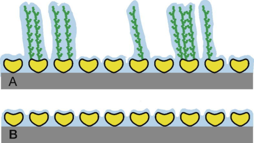 Schematic drawing of the recrystallized S-layer (glyco)proteins SgsE from Geobacillus stearothermophilus NRS 2004/3a. In (A) the recrystallized S-layer glycoprotein wtSgsE (yellow) with branched, fully extended glycan moieties (green) and in (B) the recrystallized S-layer protein rSgsE (yellow) are shown. The intermediary liquid locked-in by the pores within the S-layer lattice and the adjoining, bound water shell is indicated in blue. The scheme is not drawn to scale.
