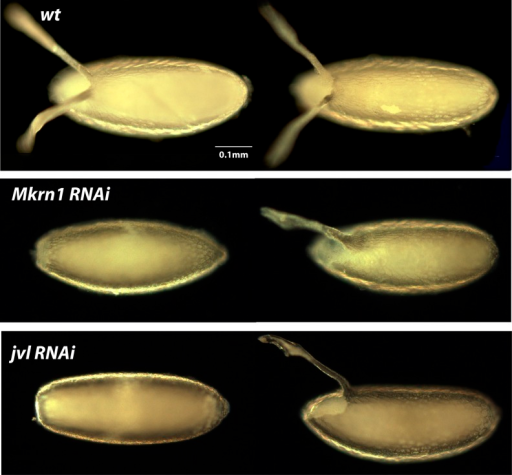 Dark-field photographs of dorsal appendage defects of RNAi knockdown embryos. Two embryos are illustrated from each knockdown line to capture the range of phenotypic severity that was observed. Wild-type embryos (wt), for comparison, are shown in the first row. The phenotypes observed for each line are discussed in Results.