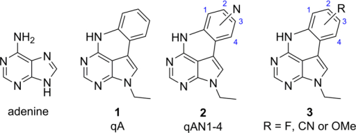 Structures of adenine, the quadracyclic adenine analogues qA and qAN1-4, and the new series of adenine analogues (3).