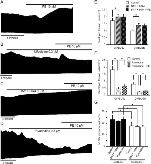 Effects of nifedipine, BAY K 8644 and ryanodine on phenylephrine-induced mechanical responses in papillary muscles.(A) The representative response to phenylephrine (10 μM) in C57BL/6J. Actions of nifedipine (0.3 μM, B), BAY K 8644 (1 μM, C) and ryanodine (0.3 μM, D) on twitch tension in the absence and presence of phenylephrine in C57BL/6J. Phenylephrine exerted positive inotropic response in the presence of ryanodine (i.e., in situations where SR-function is greatly reduced). Summary of the effects of BAY K 8644 (1 μM, E) and ryanodine (0.3 μM, F) on phenylephrine-induced response (n = 4–6, *P<0.05). (G) The levels of papillary muscle MLC2v phosphorylation in the presence and absence of BAY K 8644 or ryanodine in C57BL/6J and C57BL/6N. The % ratio of phosphorylated MLC2v vs. total MLC2v was calculated. BAY K 8644 and ryanodine did not modify MLC2v phosphorylation levels. The significance in the differences in the MLC2v phosphorylation levels was preserved in the presence of BAY K 8644 and ryanodine between C57BL/6J and C57BL/6N (n = 4–6, *P<0.05). Atenolol was present throughout the experiments for tension measurements.
