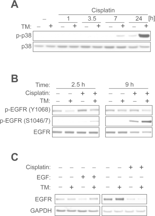 TM pretreatment potentiates cisplatin-mediated p38 activation and EGFR serine phosphorylation.(A) ECC-1 cells were treated with or without TM (30 μM) for 48 h, after which the cells were exposed to cisplatin (30 μM) for the indicated times. The levels of p-p38 or p38 were measured by Western blot analysis. (B) ECC-1 cells were treated with or without TM (30 μM) for 48 h, after which the cells were exposed to vehicle or cisplatin (30 μM) for the indicated times. EGFR phosphorylation was determined by Western blot analysis using site specific antibodies for Tyr-1068 or Ser-1046/7. (C) ECC-1 cells were treated with vehicle, EGF (20 ng/ml, 3 h) or cisplatin (120 μM, 6 h) with or without TM pretreatment (30 μM, 48 h). The levels of EGFR or GAPDH were measured by Western blot analysis.