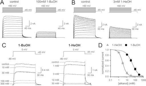 Inhibition of Shaker-IR by 1-BuOH and 1-HeOH.(A) Representative IK recordings of Shaker-IR in control condition (left) and in presence of 100 mM 1-BuOH (right) elicited by applying depolarization steps from a -80 mV holding potential (pulse protocols are shown on top). (B) IK recordings of Shaker-IR obtained in control conditions (left) and in presence of 3 mM 1-HeOH (right). (C) Steady-state IK recordings (elicited with a voltage step from -80 mV to 0 mV) upon wash-in of different concentrations of 1-BuOH (left) and 1-HeOH (right). Establishment of channel inhibition was monitored by repetitive pulsing to 0 mV. (D) Concentration-response curves obtained by plotting the normalized steady-state IK amplitude at 0 mV, determined from IK recordings as shown in panel C, as a function of 1-BuOH (circles, n = 5) or 1-HeOH (triangles, n = 7) concentration. Solid lines represent the average fit with a Hill function.