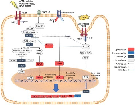 Proposed pathway of TLR4 activation by nPM treatment. Red: TLR4-dependent increased mRNA or protein (cytokines). Dark blue: proteins or mRNA unresponsive to nPM. White: proposed intermediates, not examined. nPM activated MyD88-dependent pathways, increasing NF-κB mRNA and increasing downstream cytokine productions of NF-κB activation. JAK/STAT pathway was also activated by nPM with TLR4 dependence. LPS-mediated TLR4 receptor activation by endocytosis was not altered by nPM treatment