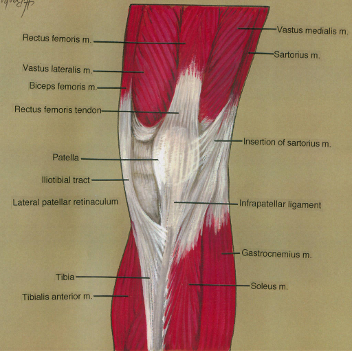 rectus femoris muscle; vastus lateralis muscle; biceps femoris muscle; rectus femoris tendon; patella; iliotibial tract; lateral patellar retinaculum; tibia; tibialis anterior muscle; vastus medialis muscle; sartorius muscle; infrapatellar ligament; gastrocnemius muscle; soleus muscle