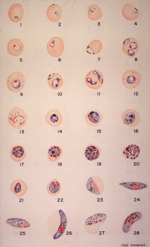 <p>Microscopic views illustrating stages of growth of a malarial parasite.</p>