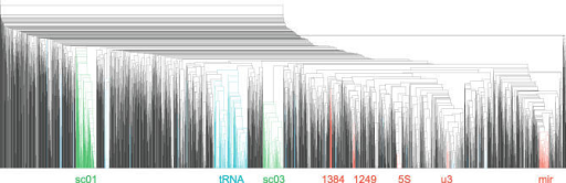 Summary of the Clustering ProcedureThe WPGMA tree contains 3,332 putative ncRNAs. A few large, prominent clusters are indicated. Among them are tRNAs and U3 snRNA, and an miRNA cluster, Figure 5, which contains the known miRNAs mir-124-a/b and let-7 as well as candidates for mir-126 and mir-7. Clusters 1384 in Figure 6 and 249 in Figure 7 are good candidates for novel ncRNA classes. sc01 and sc03 are both example clusters based on high sequence similarity.