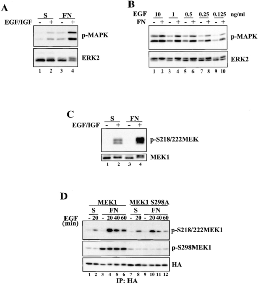Adhesion-dependent MEK1 S298 phosphorylation promotes maximal MEK1 activation in response to growth factor stimulation. (A) REF52 cells were suspended for 90 min and either stimulated for 30 min with EGF and IGF-1 in suspension, replated on FN for 30 min, or stimulated with EGF and IGF-1 while they attached to FN for 30 min. Whole cell lysates were blotted with p-MAPK or ERK2 antisera. (B) REF52 cells were placed in suspension for 90 min and either stimulated in suspension for 30 min with the indicated concentrations of EGF or replated on FN in the presence of the indicated concentrations of EGF for 30 min. Whole cell lysates were blotted with p-MAPK or ERK2 antisera. (C) Cells were treated as in A, and whole cell lysates were blotted with p-S218/222 MEK or MEK1 antisera. (D) REF52 cells were transiently transfected with HA-MEK1 (lanes 1–6) or HA-MEK1 S298A (lanes 7–12). Cells were suspended in serum-free media for 90 min and either kept unstimulated in suspension (lanes 1 and 7), stimulated in suspension with EGF for 20 min (lanes 2 and 8), allowed to adhere to FN (lanes 3 and 9) or allowed to attach to FN while stimulated with EGF for the indicated times (lanes 4–6 and 10–12). Anti-HA immunoprecipitates were formed and blotted with p-S218/222 MEK1, p-S298MEK1 or HA antisera. Densitometry and normalization to the loading controls revealed that S218/222 phosphorylation of MEK1 S298A was ∼50% that seen in the wild-type protein.
