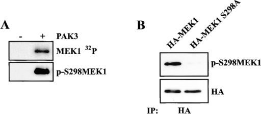 PAK directs MEK1 S298 phosphorylation in vitro. (A) In vitro kinase assays were performed using recombinant MEK1 and recombinant PAK3 as described in Materials and methods. (B) REF52 cells were transfected with HA-tagged wild-type MEK1 or HA-MEK1 S298A, suspended for 1 h and allowed to adhere to FN for 10 min. Anti-HA immunoprecipitates were analyzed and blotted with p-S298MEK1 (top) or MEK1 (bottom).