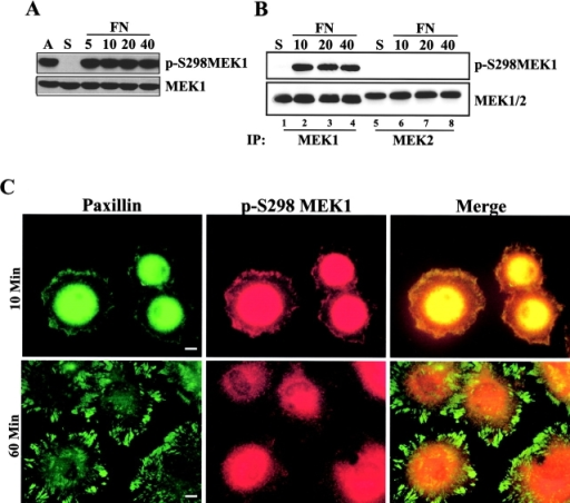 MEK1 S298 phosphorylation is regulated by cell adhesion. (A) REF52 cells were treated as described in Fig. 1. Whole cell lysates were blotted with antiserum specific for phospho-S298 MEK1 (p-S298MEK1; top) or MEK1 (bottom). (B) REF52 cells were suspended (S) and replated on FN for 10, 20, or 40 min. Anti-MEK1 or anti-MEK2 antiserum was used to immunoprecipitate endogenous proteins, which were subsequently blotted with anti– p-S298MEK1 or anti-MEK1/2. (C) REF52 cells were suspended and plated on FN for 10 min or 1 h before co-staining for p-S298MEK1 (red) and paxillin (green). The intense staining in the center of the cell represents perinuclear staining that was over-exposed to visualize peripheral structures. Bars, 10 μm.