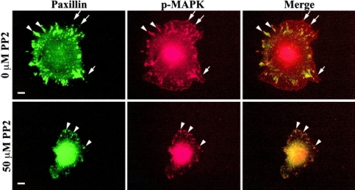 Src inhibition alters the location of phospho-MAPK. REF52 cells were suspended in the presence or absence of 50 μM PP2 and plated on FN for 1 h in the continued presence or absence of PP2 before co-staining for p-MAPK (red) and paxillin (green). The arrows indicate peripheral adhesion complexes containing p-MAPK; arrowheads indicate paxillin-containing focal adhesions. Bar, 10 μm.