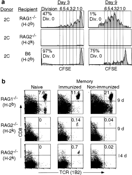 "Requirements for homeostasis-driven proliferation. (a) Homeostasis-driven proliferation requires the presence of both ""space"" and the correct MHC. Proliferation of CD8+TCR+ cells in various recipients is shown as histograms of CFSE profiles. RAG-2−/− (H-2k) recipients were treated with anti-Ly49G2 (200 μg intraperitoneally) to deplete NK cells 1 d before the transfer and another 100 μg on the day of transfer. H-2k was not recognized by 2C cells as shown by mixed lymphocyte reaction (data not shown). (b) Comparison of survival of naive and memory 2C T cells in recipients with ""incorrect"" MHCs. An equal number of naive and memory 2C T cells (1 × 106) was transferred into either syngeneic (H-2b) RAG-1−/− recipients or RAG-2−/− recipients having an incorrect MHC class I (H-2k). 9 and 14 d after the transfer, splenocytes and lymph node cells were assayed for CD8 and TCR (1B2) expression by flow cytometry. Numbers indicate the percentages of CD8+TCR+ cells in lymph node. A similar result was also obtained in the spleen (not shown). The memory 2C T cells were generated as described in Materials and Methods and RAG-2−/− (H-2k) recipients were treated with anti-Ly49G2 antibody as above."