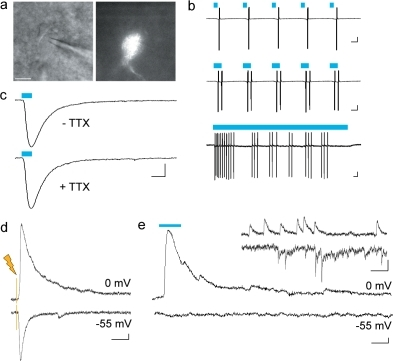 Functional demonstration that the Cre-activated AAV vector is cell-type specific.Pv-cre mice were injected with AAV-LS2L-ChR2mCherry and acute slices for electrophysiological recording were prepared. (a–c) Light stimulation directly elicited depolarizing responses in ChR2-positive neurons. DIC and fluorescent images of a ChR2-positive cell targeted for recording (a); scale bar: 10 µm. Spike responses to light stimulation of increasing duration (7, 14, and 500 ms as indicated by blue line) were recorded in cell-attached mode (b); scale bars: 40 pA, 25 ms. ChR2-mediated current was maintained in the presence of TTX. (c); scale bar: 50 pA, 10 ms. (d) Electrical field stimulation evoked both inhibitory post-synaptic current (upper trace, holding potential set to the reversal potential for AMPA/NMDA-mediated current, 0 mV) and excitatory post-synaptic current (lower trace, holding potential set to the reversal potential for GABA-mediated current, −55 mV), recorded in a pyramidal cell in whole-cell voltage-clamp mode; scale bar: 40 pA, 20 ms. (e) Light stimulation specifically evoked inhibitory post-synaptic current (upper trace), no excitatory post-synaptic current was detected (lower trace); scale bar: 20 pA, 20 ms. Inset, both inhibitory and excitatory spontaneous synaptic events were detected using the same recording conditions; scale bar: 20 pA, 50 ms.