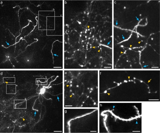 In-vivo 2-photon imaging of GFP-labeled basket interneurons in Pv-cre mice.(a) Low-magnification projection of a z-series starting at ∼20 µm below the pia surface to a depth of ∼120 µm, from a densely labeled area. The asterisks indicate the tops of two cell bodies. Numerous dendritic branches are indicated by blue arrows. (b–c) Higher magnification z-projections of regions highlighted in (a) at two different depths: 85–90 µm (b) and 65–75 µm (c) below the pia. Note the smooth, aspiny dendrites (blue arrows), and dense cluster of boutons of varying size (yellow arrowheads). (d) Projection of a z-series 60–170 µm below the pia from a sparsely labeled area, showing an isolated GFP-labeled basket interneuron. Dendrites (blue arrows) could be traced back to soma, and axonal boutons (yellow arrowheads) appear as a cloudy signal at this magnification. (e–f) Examples of axon morphology magnified from areas indicated by gray boxes in (d). (e) shows an axonal basket-like structure (asterisk), and (f) shows a well-isolated axon branch (yellow arrow) with distinct boutons (yellow arrowheads). (g–h) dendrite structures from areas indicated in (d). Dendrites of the cell were largely aspiny (g), though occasionally small protrusions were visible on some dendritic branches (h). Scale bars a,d: 20 µm; b–c, e–h: 5 µm.