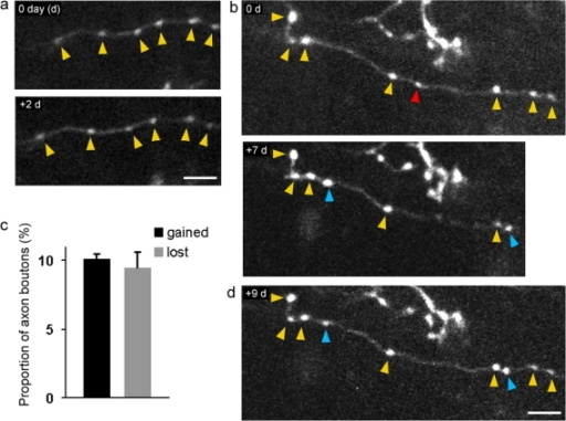 Chronic 2-photon imaging of structural dynamics of basket interneurons in-vivo.(a) Example images of the morphology of an axon branch and boutons in which both were stable over the course of two days. (b) One-week imaging interval in which the axon branch and boutons were largely stable (yellow arrowheads), additions (blue arrowheads) and subtractions (red arrowheads) on the axon shaft were observed. Note, two far right boutons are not shown for day 7. (c) Proportion of axon bouton additions and subtractions (total number of boutons examined = 183, from three animals). (d) Example in which newly formed boutons persistented for at least two days (blue arrowheads). Scale bars: 5 µm.